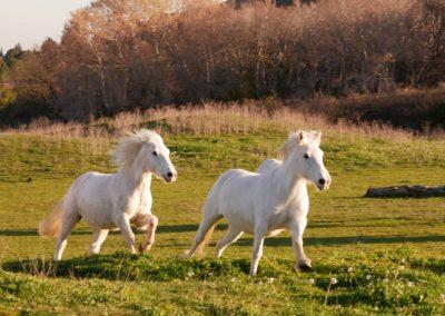 Venir au club, chevaux liberté, domaine équestre de maruejols
